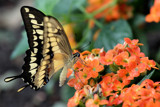 Swallowtail by Paul_Gerritsen, Photography->Butterflies gallery