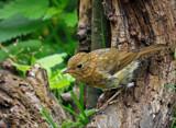 Juvenile Robin.. by biffobear, photography->birds gallery