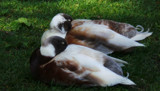 Let Sleeping Ducks Lie #2 by braces, photography->birds gallery