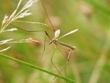 Crane Fly - Tipula sp. by stormdancer, Photography->Insects/Spiders gallery