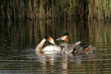 The Grebes Familiy by Paul_Gerritsen, Photography->Birds gallery