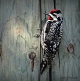 Wood pecker by GIGIBL, photography->birds gallery