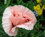 Wet Pink Poppy by jdinvictoria, Photography->Flowers gallery