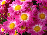 Pink Flowers by Crusader, Photography->Flowers gallery