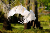 Angel Wings by 100k_xle, Photography->Birds gallery
