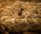 Rattler by Pistos, photography->animals gallery