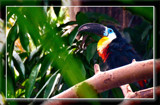 Toucan by corngrowth, photography->birds gallery