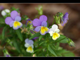 Viola by panoramaster, Photography->Flowers gallery