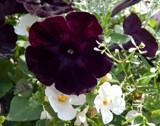 Sweetunia Black Satin by trixxie17, photography->flowers gallery