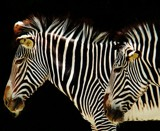 Zebras by nessalovesnature, photography->animals gallery