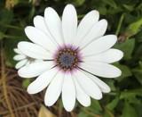 Osteospermum by ccmerino, photography->flowers gallery