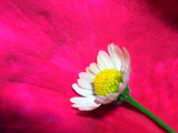Daisy on a Rose Petal by StarLite, photography->flowers gallery