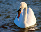Dribbling Swan by braces, Photography->Birds gallery