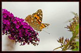 From My Wife's Garden, One Of A Kind. by corngrowth, Photography->Butterflies gallery