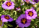 Morningstar Petunia by trixxie17, photography->flowers gallery