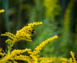 Bee on Goldenrod by Pistos, photography->flowers gallery