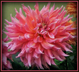 "Dahlia Series - #5 "" Curly Q"" by trixxie17, photography->flowers gallery"