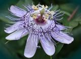 Purple Flower by vangsdesign, Photography->Flowers gallery
