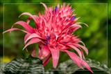 Foofy Friday Bromeliad by corngrowth, photography->flowers gallery