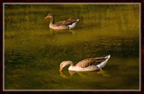 Golden Pond Geese by corngrowth, Photography->Birds gallery