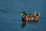 Mr McDuck or Phlossie's Water Toy by tigger3, photography->birds gallery