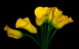 Yellow Callas by ccmerino, Photography->Flowers gallery