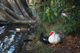 Winter In The Park - Muscovy Duck by LynEve, photography->birds gallery
