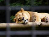 lounging lion by angelicem, photography->animals gallery