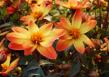 Dwarf Dahlia by trixxie17, photography->flowers gallery