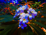 Plumeria for the Holidays by Pistos, photography->flowers gallery