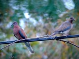 Mr Dove and Mrs Pigeon by maxim_7770, Photography->Birds gallery