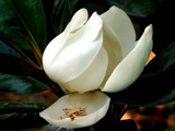 magnolia grandiflora 9 by jeenie11, Photography->Flowers gallery