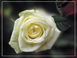 White rose by wimida, Photography->Flowers gallery