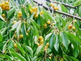 Yummy Yellow Cherries by hiker, Photography->Food/Drink gallery