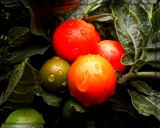 Cherry Tomatoes by trixxie17, photography->food/drink gallery