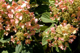 Little Spitfire Hydrangea by trixxie17, photography->flowers gallery