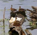 Duck Siesta Interrupted by Pistos, photography->birds gallery
