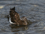 Chap-eau by Salishutter, photography->birds gallery