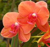 Apricot Orchids by trixxie17, photography->flowers gallery