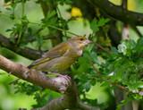 Greenfinch by biffobear, photography->birds gallery