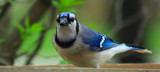 A Bluejay With A Mouthfull by tigger3, photography->birds gallery