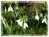 Galanthus nivalus... by fogz, Photography->Flowers gallery