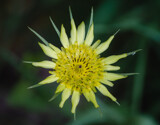 Yellow Goat's Beard by Pistos, photography->flowers gallery