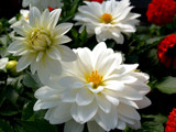 As the Flowers Glow...in their Soft...Gentle Light... by marilynjane, Photography->Flowers gallery