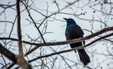 Grackle by Eubeen, photography->birds gallery