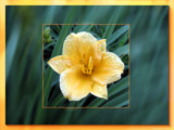 Delight in Dew by Hottrockin, Photography->Flowers gallery