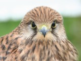 Common Kestrel (Falco Tinnunculus) - Torenvalk by cameraatje, Photography->Birds gallery