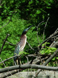 Green-Back Heron by gerryp, Photography->Birds gallery