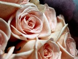 Rose: Watercolored Roses by ladyturtle27, Photography->Manipulation gallery