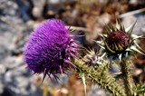 thistle by ro_and, photography->flowers gallery